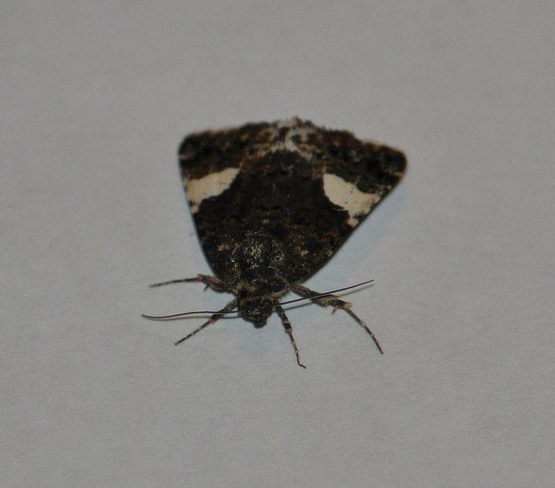 Tyta luctuosa ( Noctuelle en deuil, Funèbre)