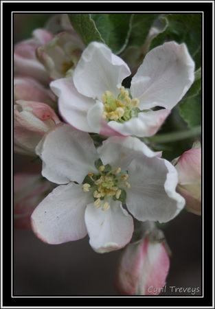 2010_05_23_Fleurs_de_pommier