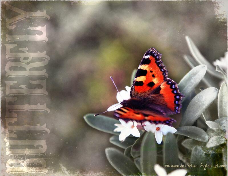 Papillon-----