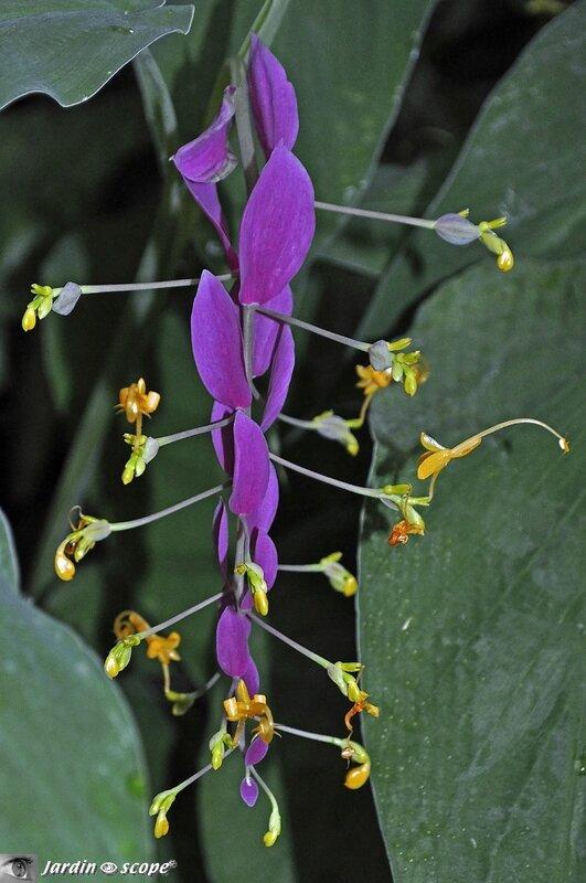 Globba-winitii - Zingiberaceae