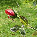 Les roses de jean-pierre et 24 heures photo