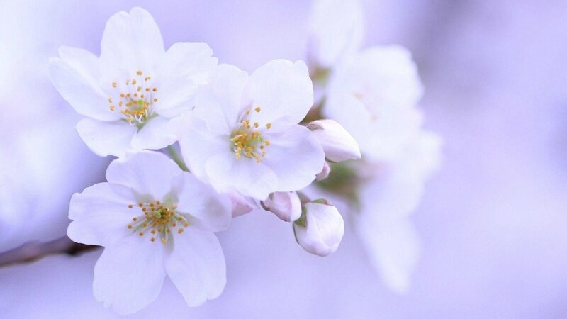 Flowers-white-cherry-blossom-wallpapers