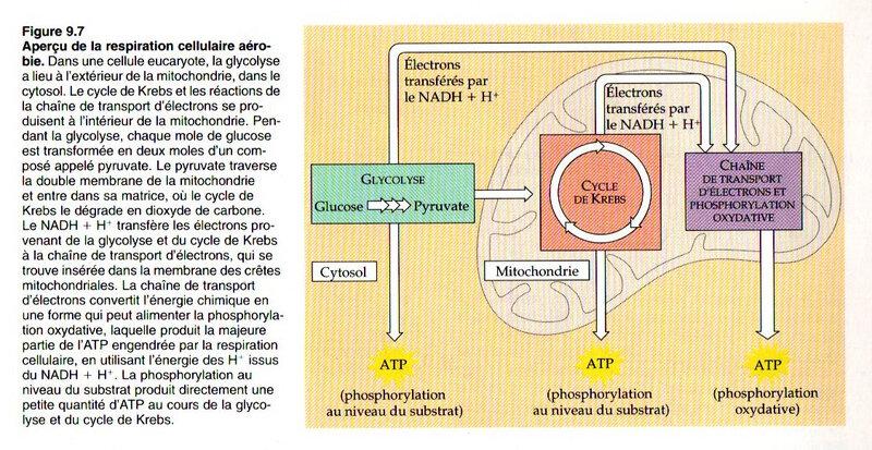 Fig 9-7 un aperçu de la respiration cellulaire aérobie
