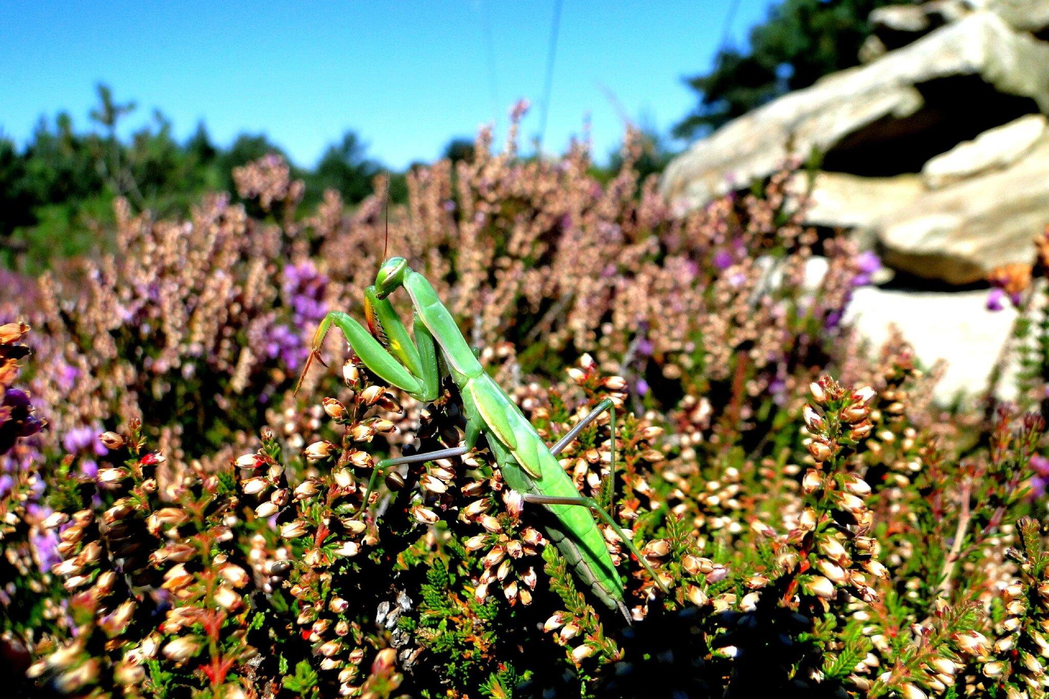 Mantis religiosa jeune femelle je pense