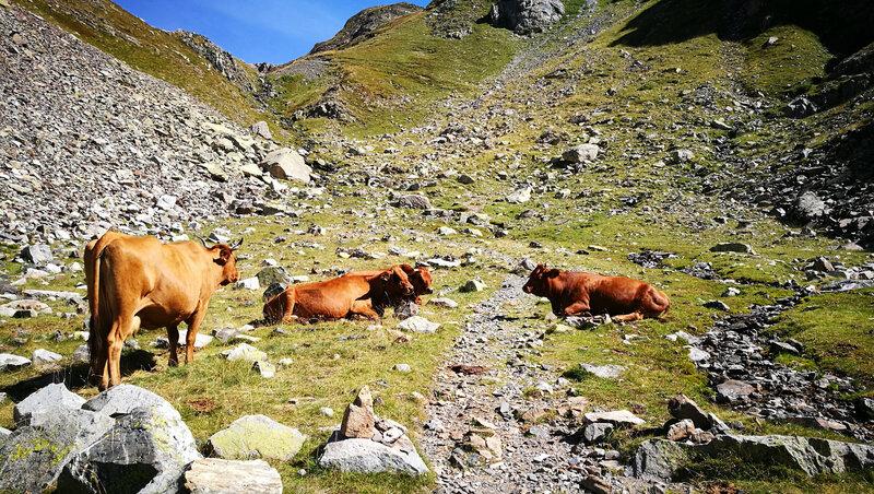 Lac d'Arrious, randonnée, g) vallon d'Arrious, vaches et sentier (64)