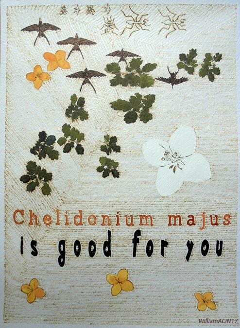 chelidonium-majus-is-good-for-you-william_acin