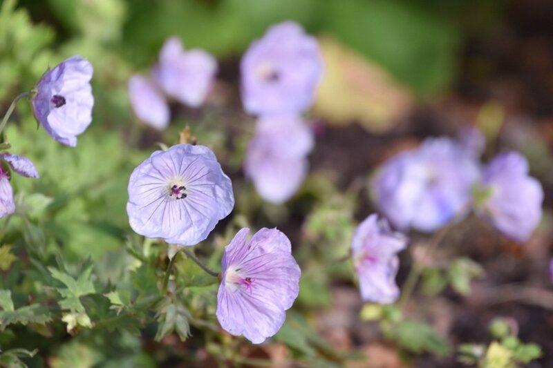 geranium lilac ice (2)