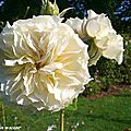 Rose ancienne Sombreuil