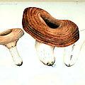 127-134 ファーブルのチチタケ, lactaires de j.-h. fabre (2)