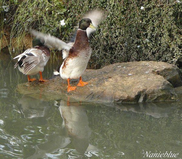 danse des canards6