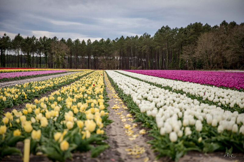 champs-de-tulipes-landes-photographe