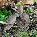 Mycena pelianthina (5)