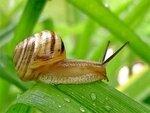 gastéropodes escargot-DR