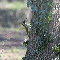Pic vert (femelle)