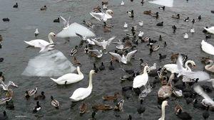 oiseaux-de-stockholm-2