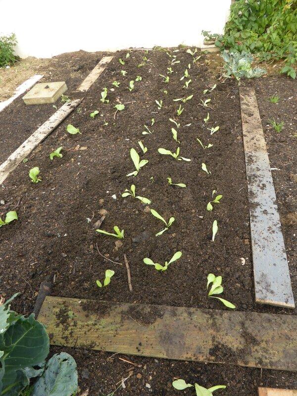 19-salade-plants (4)