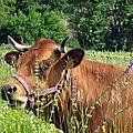 Vache Varoise 800x600