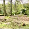 Des wallabies en liberté dans ma forêt de rambouillet