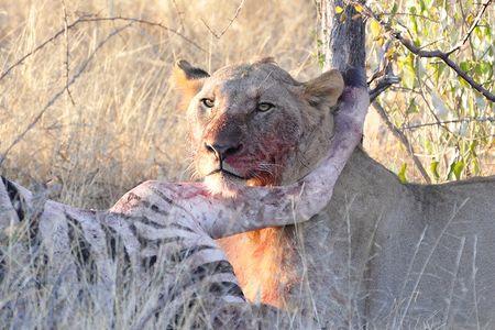 Lion, parc d'Etosha, Namibie