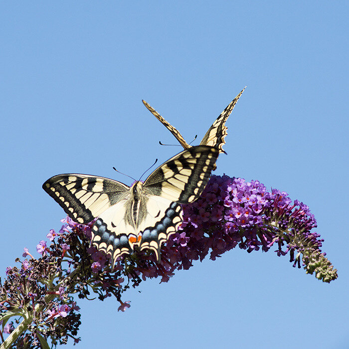 machaon en vol 17-05