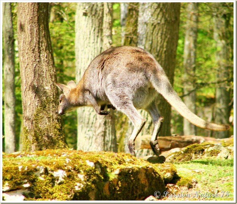 wallabies de la forêt de Rambouillet (15)