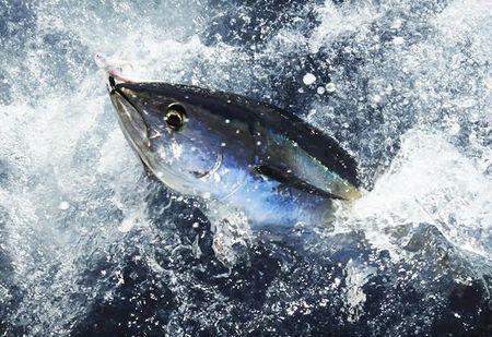 thon-rouge-de-mediterranee-