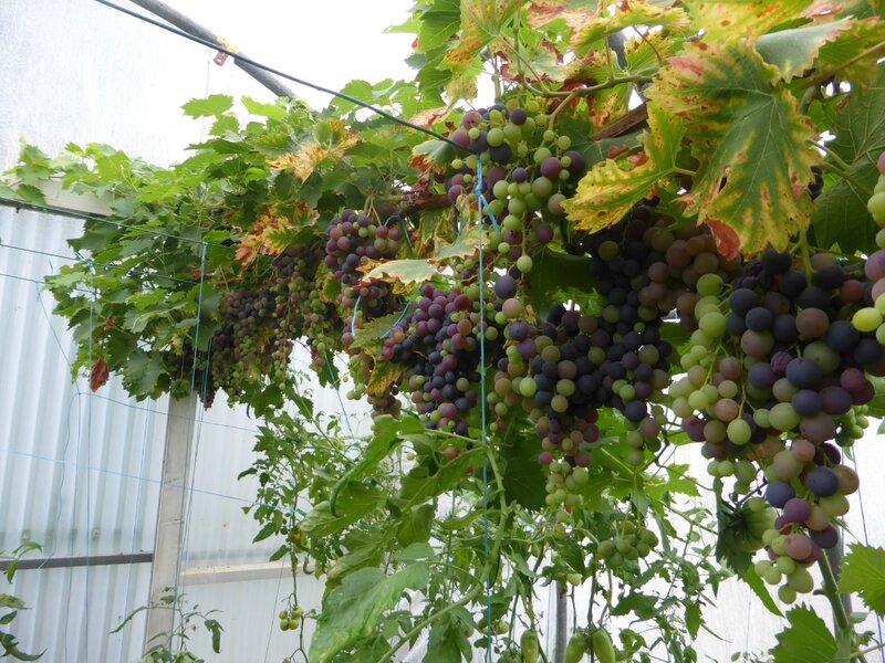 28-serre-tomates-raisins (14)