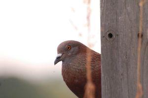 Pigeon020