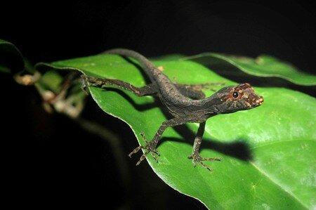 Lizard_SP1