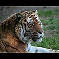 les tigres4
