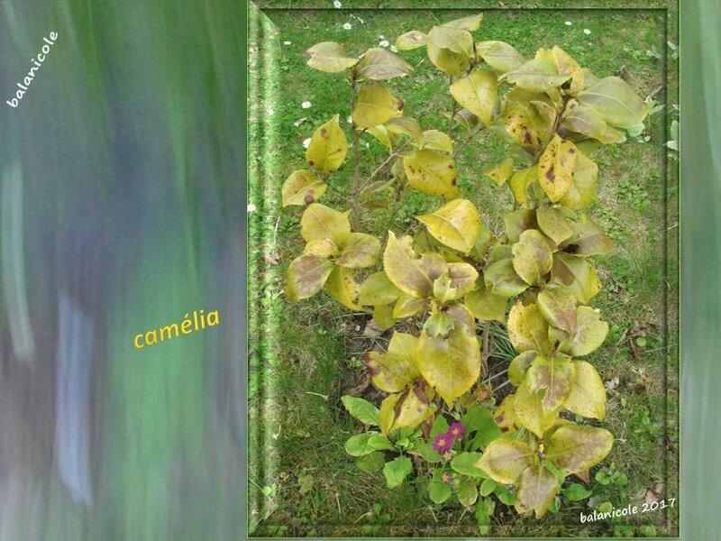 balanicole_2017_04_coup de gel sur le printemps des vivaces_23_camélia2