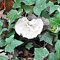 Macrolepiota gracilenta (3)