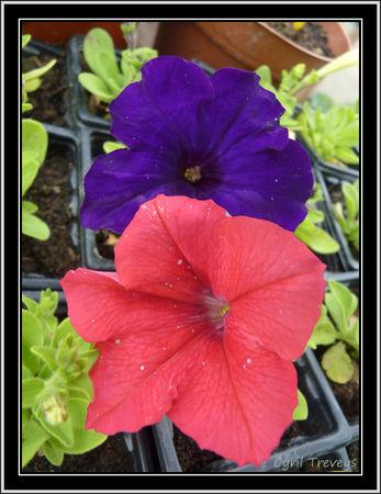 2010_06_01_Deux_fleurs_de_p_tunias