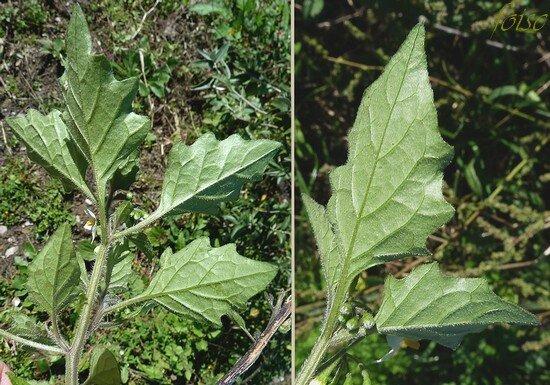 rameaux et feuilles couverts de poils étalés AA