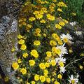 2008 08 08 Mes fleur d'anthémis des teinturiers