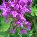 Pfälzerhütte. orchidée des alpages
