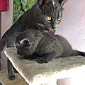 Nos bb chartreux ont 4 semaines: