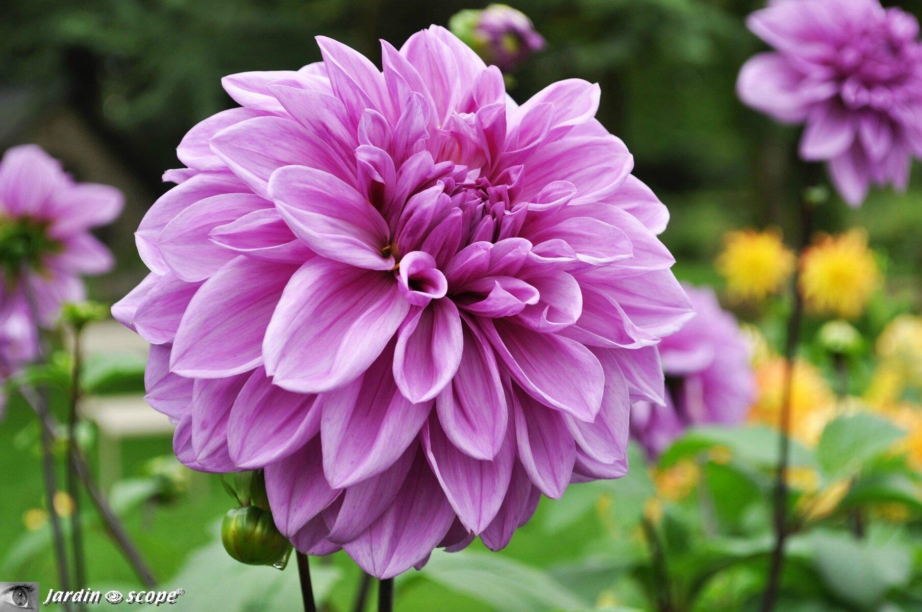 Dahlia Lilac-Time