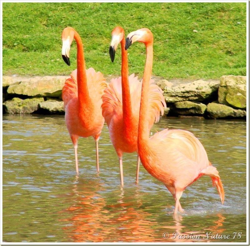 Les flamants roses (6)