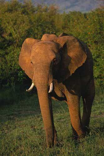 elephad