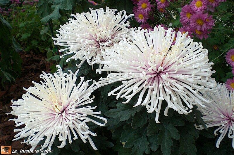 Les Chrysanthèmes et la Toussaint