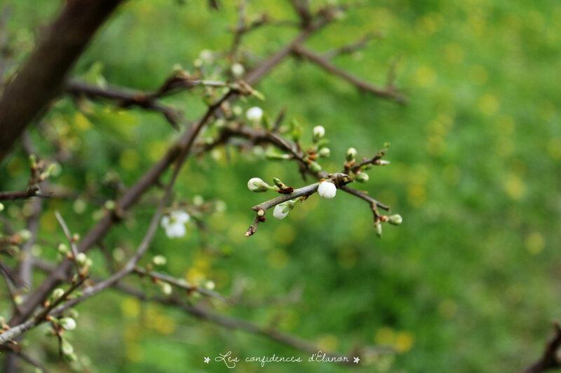 Prunellier