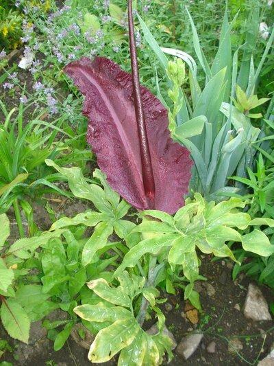 fleurs-de-mon-jardin-arome-du-draguon-le-blog-marche-mal-dificile-de-venir