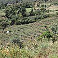 champ de khat dans les montagnes du Harerge