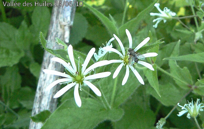 stellaria nemorum
