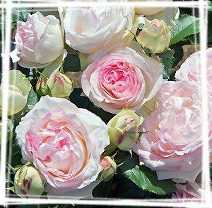 rose-ronsardx