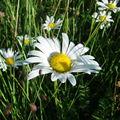 2008 06 22 Une marguerite sauvage en fleur