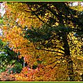Chêne et Liquidambar jaune