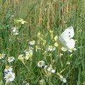 Suis le papillon blanc !