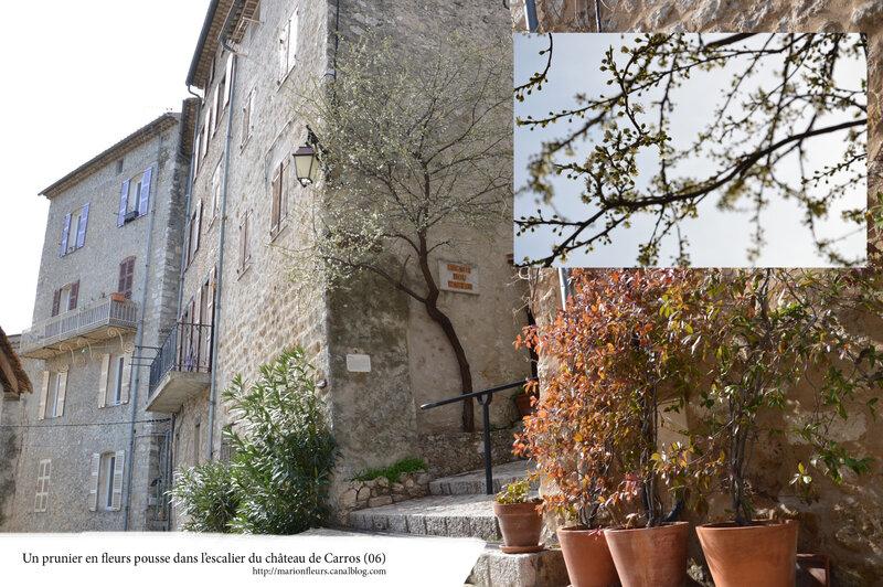 Un prunier dans l'escalier du château de Carros (06) ; marionfleurs